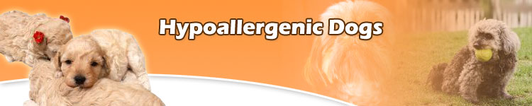 What Breed Hypoallergenicdogs Are Right For Your Family at Hypoallergenic Dog